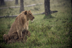Wet Fur (randon) Tags: africa wild camp rain cat kenya wildlife lion tent safari cubs governors governorscamp