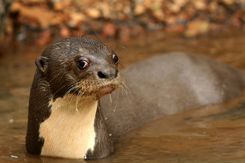 Castleman Portfolio - Giant River Otter