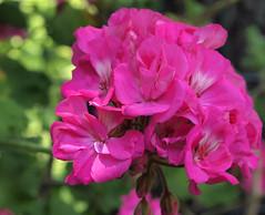 Puff of Pink (btn1131 www.needGod.com) Tags: flowers summer plants nature floral pen olympus zuiko 1442mm epl1 mygearandme