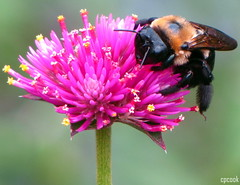 Buzz off (cpcook) Tags: plant flower macro nature animal closeup bug insect photography nc flora durham fuzzy leg wing northcarolina bee antenna sarahpdukegardens canonpowershotsx10is cpcook
