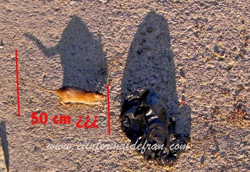 Ratas en el Rio de Oro