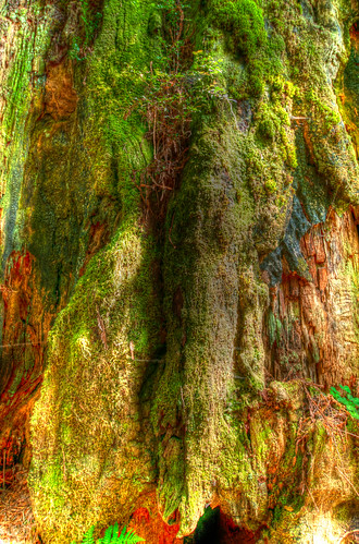 HDR moss on a redwood