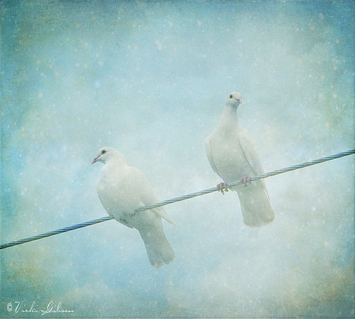 Doves by realworldracingphotog