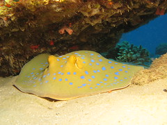 Blue spotted stingray by prilfish, on Flickr