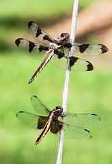Double Dragon (Emery O) Tags: macro canon dragonfly greenbay skimmer 180mm 50d 12spottedskimmer 580exii macrolife widowskimmerdoubledragon