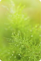Little Morning Diamonds. (Azfar Nasirudin.) Tags: macro green nature canon asia dew malaysia tamron waterdroplets batu tamron90mm pahat drizzling 50d