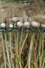 Curing Garlic (lisascenic) Tags: garden harvest garlic garlicbraids