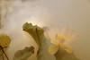 Lotus Flower - IMG_0413-2-1000 (Bahman Farzad) Tags: flower macro yoga peace lotus relaxing peaceful meditation therapy lotusflower lotuspetal lotuspetals lotusflowerpetals lotusflowerpetal
