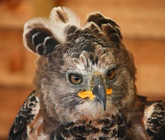 African Crowned Eagle (chrisgandy2001) Tags: bird eagle african crowned