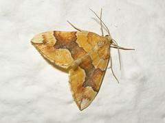 Barred Yellow, Bawdeswell (Norfolk), 24-Jun-11 (Dave Appleton) Tags: yellow insect norfolk moth moths barred bawdeswell barredyellow