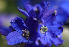 Summertime Blues (AnyMotion) Tags: flowers blue plants macro nature floral colors colours blossom frankfurt natur pflanzen blumen vase blau makro blte delphinium fa larkspur farben rittersporn 2011 makroaufnahmen anymotion canoneos5dmarkii 5d2 mupix