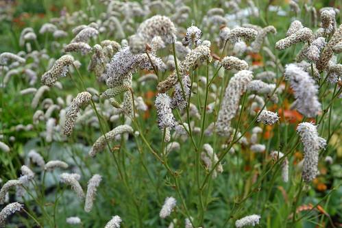 SANGUISORBA tenuifolia 'White Tanna'