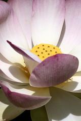 Jardin des plantes 24.07.11 123 (MUMU.09) Tags: photo foto lotus flor  bild blume fiore  imagem     flori       fiorediloto hoasen flordeloto  lotusblomma floweroflotus   lotosblume fleurdelotus     ltuszvirg kwiatlotosu  lotusblomst lotusblth lotusblm   lotosovkvt lotusiei mumu09