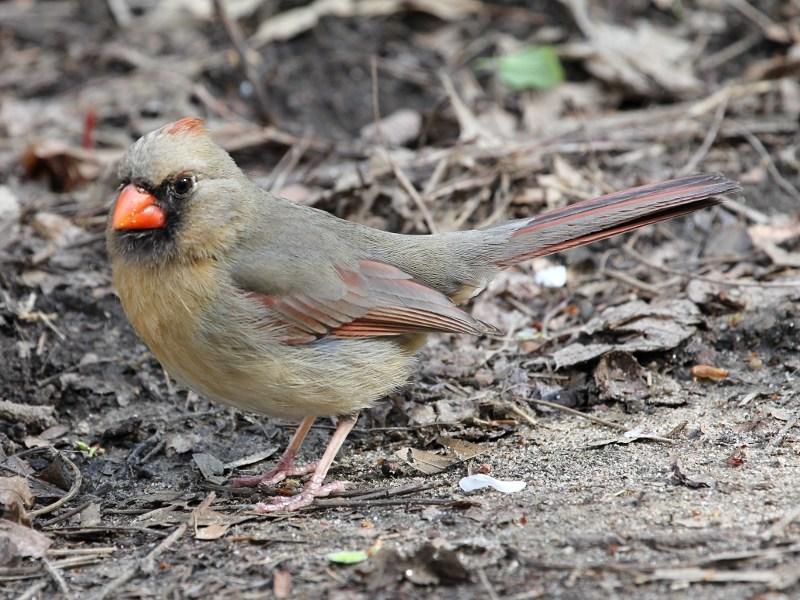 Northern Cardinal; Cardinalis cardinalis (fem.)