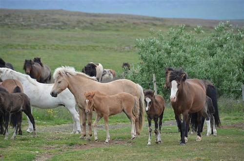Icelandic horses at Gauksmyri Lodge
