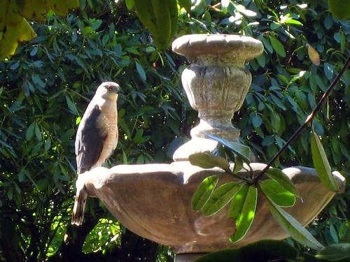 Coopers Hawk in neighborhood birdbath. by Bart King