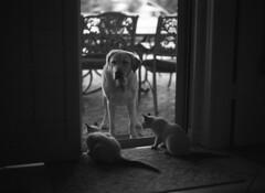 The Missing Negative (PositiveAboutNegatives) Tags: leica blackandwhite dog film lab labrador yellowlab rangefinder mp coolscan leitz 50mmsummiluxasph nikon9000scanner blackandwhitefilmphotography leicafilmphotography freefilmimages freefilmpictures