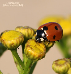 ... yum-yum ...  (grce) Tags: insect ladybug soe naturewatcher macroelite 100commentgroup doublyniceshot macromagister