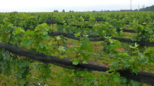 BK vineyards