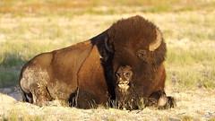 Bison (Bob Franks) Tags: park national yellowstone wyoming bison