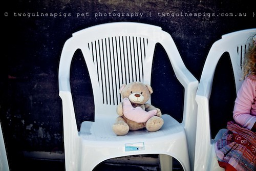 Teddy by twoguineapigs pet photography