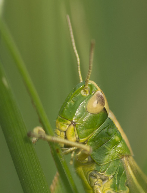 meadow  grasshopper close up 3