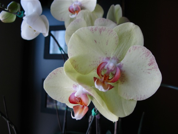 blooming phalaenopsis orchids 002