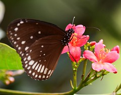 Euploea core(Common Crow Butterfly) (anindya55) Tags: india color macro nature closeup butterfly nikon flickr sankar naturesfinest anindya commoncrow tamronaf70300mmf456dildmacro d5100 mygearandme nikond5100 anindyasankardey