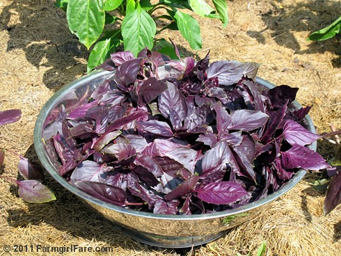 Growing and harvesting green and purple basil in the kitchen garden 9 - FarmgirlFare.com