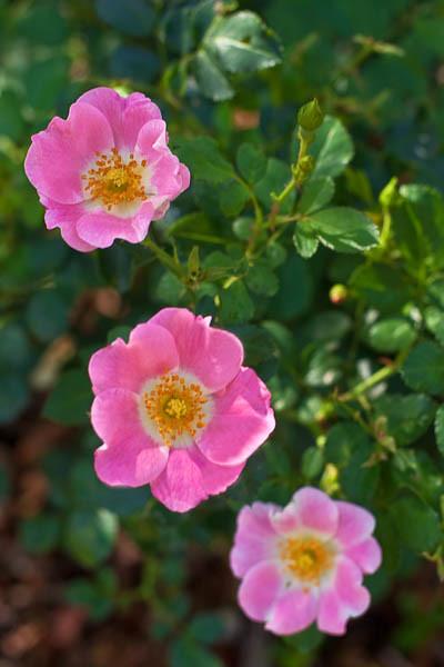 Three Wild Roses