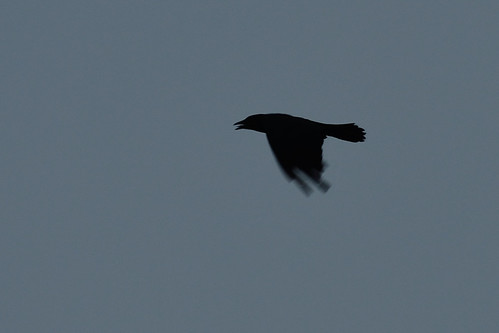 Crow Blur DSC_4607