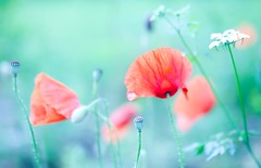 Roadside poppies (Steve-h) Tags: flowers ireland dublin art tourism nature design europe blossoms tourists poppies change buds recreation tungsten aerlingus whitebalance lightroom cowparsley steveh canoneos5dmk2 bestcapturesaoi canonef100mmf28lmacroisusm mygearandme mygearandmepremium mygearandmebronze mygearandmesilver mygearandmegold mygearandmeplatinum mygearandmediamond dblringexcellence exploreinterestinglastsevendays rememberthatmoment rememberthatmomentlevel4 rememberthatmomentlevel1 rememberthatmomentlevel2 rememberthatmomentlevel3 rememberthatmomentlevel7 rememberthatmomentlevel9 rememberthatmomentlevel5 rememberthatmomentlevel6 rememberthatmomentlevel8