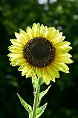 Aug032011_0916-Yellow-Sunflower (©Delos Johnson) Tags: flowers canon garden sunflower topaz delos g9 detail4 denoise