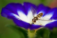 (pranan7) Tags: makro insekt mohn