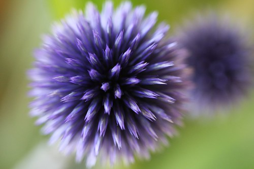 瑠璃玉あざみ /  Echinops,beautiful flower