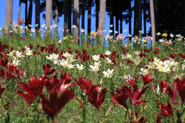 百合の花言葉は怖いって本当?種類別・本数別・色別百合の花言葉