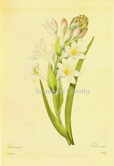 Poliantthes tuberosa Redout Botanical Illustration (SurrendrDorothy) Tags: france flower art history home floral illustration vintage watercolor painting print dorothy botanical artist belgium natural antique illustrator etsy botany decor surrender lithograph artfire redout zibbett