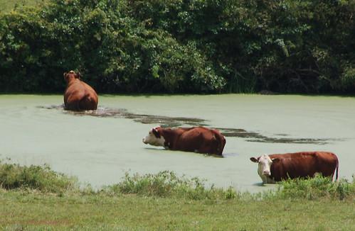 cows close!.jpg