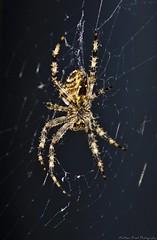 Araneus Black (MFotography*) Tags: hairy macro nature digital canon dark insect eos spider legs web creepy crawly araneus 500d