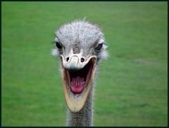 Avestruz (korokotta) Tags: avestru