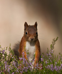 Red Squirrel looking pretty in the Heather (Explored) (Margaret J Walker) Tags: autumn nature mammal scotland highlands heather wildlife aviemore redsquirrel nikond300s