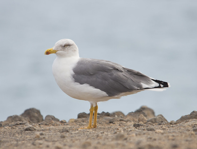 yellow legged gull 2