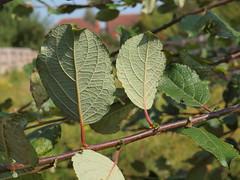 Salix caprea L. subsp. caprea - Goat Willow. (Peter M Greenwood) Tags: goat willow salix goatwillow salixcaprea caprea salixcapreasubspcaprea