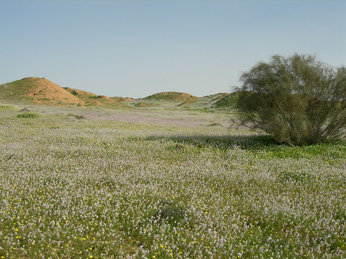 Desert_Wildlfowers_S_of_Urim_IL_2007_02_17_001.jpg