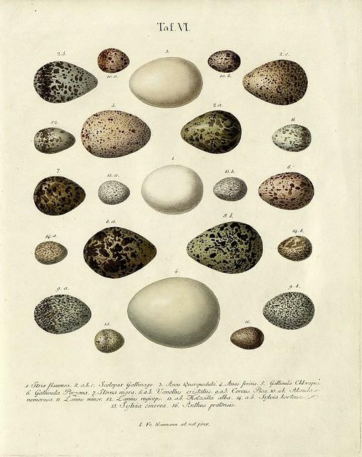 Die Eier der Vögel Deutschlands, 1818