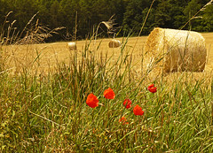 Season's opening (RainerSchuetz) Tags: field harvest poppies stubblefield baleofstraw