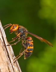 Asian Giant Hornet, Vespa mandarinia,  (aeschylus18917) Tags: macro nature japan insect nikon vespa wasp g micro  hornet saitama nikkor f28 vr hanno saitamaken 105mm hymenoptera insecta  105mmf28 vespidae apocrita  105mmf28gvrmicro  vespamandarinia saitamaprefecture vespoidea suzumebachi gianthornet d700 nikkor105mmf28gvrmicro  asiangianthornet danielruyle yakkillerhornet aeschylus18917 danruyle druyle    hann hannshi