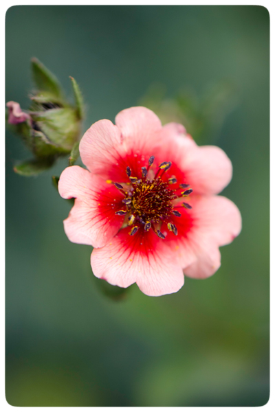 Red-&-Pink-flower