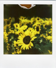 Sunflowers (Nick Leonard) Tags: vegas summer plants green film nature floral leaves yellow analog polaroid sx70 golden petals pretty lasvegas nevada nick sunflowers bellagio manualfocus landcamera flowergarden instantfilm polaroidweek epson4490 firstflush roidweek colorshade nickleonard polaroidsx70model2 theimpossibleproject ndpackfilter roidweek2011 px680 px680ff summer2011theme