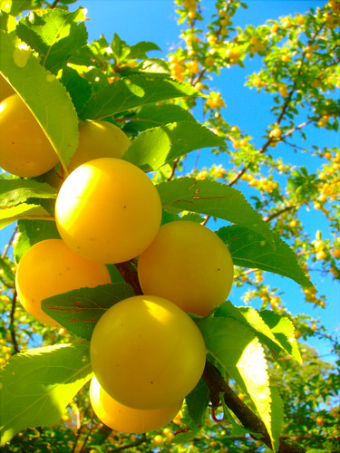 Yellow Plums by Danalynn C